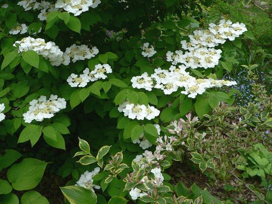 """Doublefile Viburnum in bloom (Viburnum v. plicatum f. tomentosum """"Pink Beauty"""")"""
