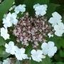 Viburnum v.plicatum