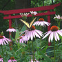 Tiger_st_p_coneflower_torii_7_14_06_exc