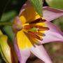 Tulip saxatilis (Tulipa saxatilis (Tulip))