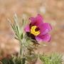 Pulsatilla (Pulsatilla vulgaris (Pasque flower))