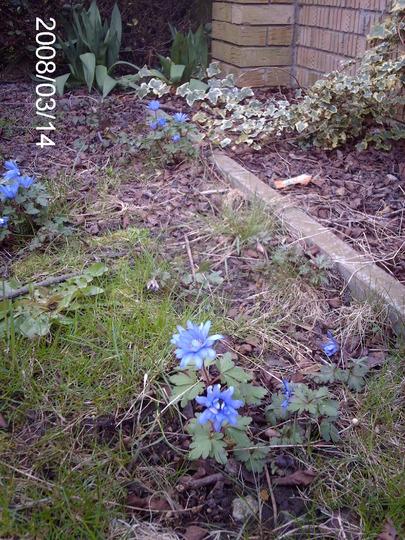 Anemone blanda 'Blue Shades' (Anemone blanda (Anemone))
