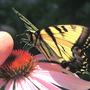 Tiger Swallowtail, Coneflower (Rudbeckia purpurea)