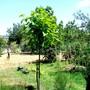 Catalpa bignonioides (Indian bean tree)