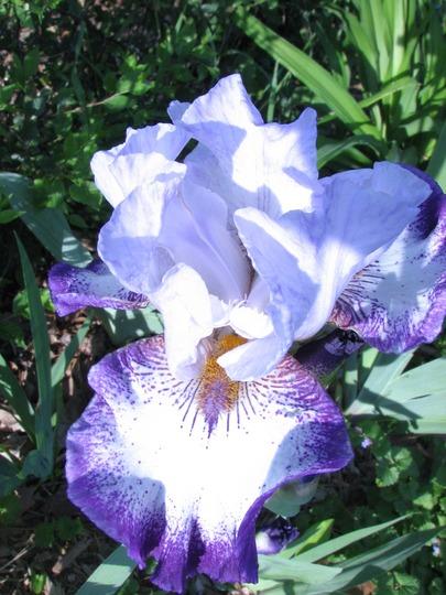 bountiful harvest iris (iris)