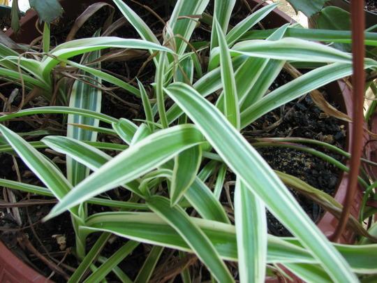 spider plant  variegatum (Chlorophytum comosum)