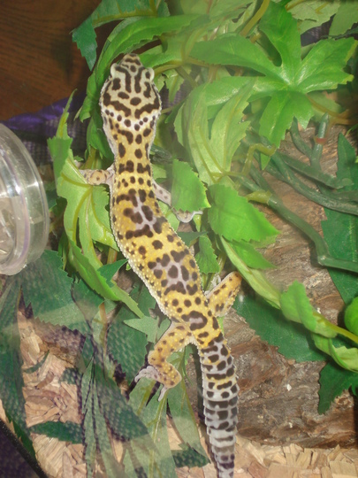Astrid the Gecko