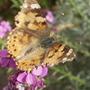 Butterfly on Wallflower