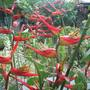 Heliconia latispatha 