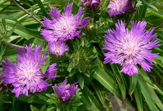 """Stokes Aster """"Purple Parasols"""" (Stokesia laevis (Stokes' aster) """"Purple Parasoles"""")"""
