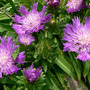 Aster_stokes_purple_parasoles_6_27_07_exc_sm