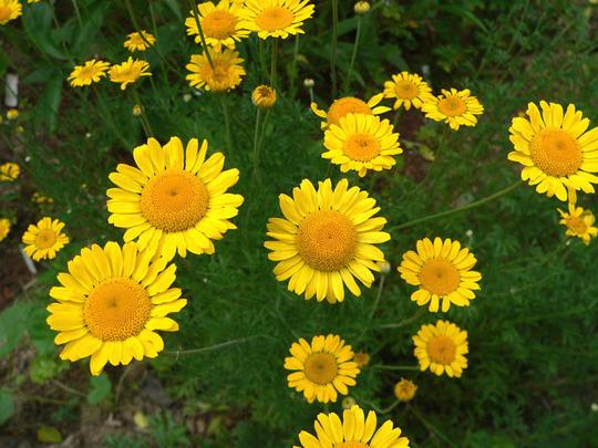 Daisy Kelway's Golden Marguerite (Daisy)