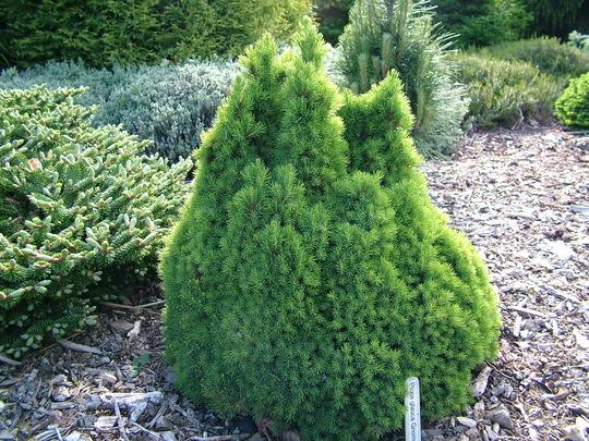 Picea glauca 'Gnome' (Picea glauca 'Gnome')