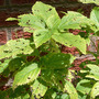Holey Wood Nettle (Laportea canadensis)