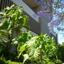 Philodendron 'Evansii'  (Philodendron 'Evansii')