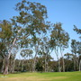 Eucalyptus citriodora - Lemon Gum (Eucalyptus citriodora - Lemon Gum)
