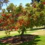 Erythrina falcata - Brazilian Coral Tree, Corticeira-da-Serra (Erythrina falcata - Brazilian Coral Tree, Corticeira-da-Serra)