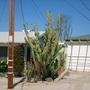 Cereus peruvianus - Night Blooming Cactus (Cereus peruvianus - Night Blooming Cactus)