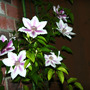 IMG_1880.CLEMATIS 'NELLY MOSSER'