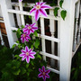 IMG_1888.DR.RUPPELL CLEMATIS