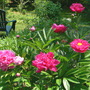 Peonies in the Garden (Paeonia)
