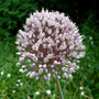 Garlic Blooming (Allium unnamed)