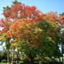 San Diegan - Erythrina falcata - Brazilian Coral Tree, Corticeira-da-Serra in San Diego, CA. (Erythrina falcata - Brazilian Coral Tree, Corticeira-da-Serra)