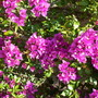 Bougainvillea spectabilis - Bougainvillea (Bougainvillea spectabilis - Bougainvillea)