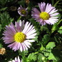Brachyscome - native Australian daisy (Brachyscome 'Pacific Storm')