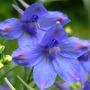 "Delphinium ""Butterfly Blue"" (Delphinium grandiflorum ""Butterfly Blue)"