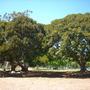 Ficus macrophylla - Moreton Bay Fig (Ficus macrophylla - Moreton Bay Fig)
