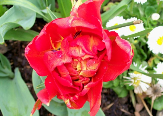 mystery orange/red orange tulip (tulipa)