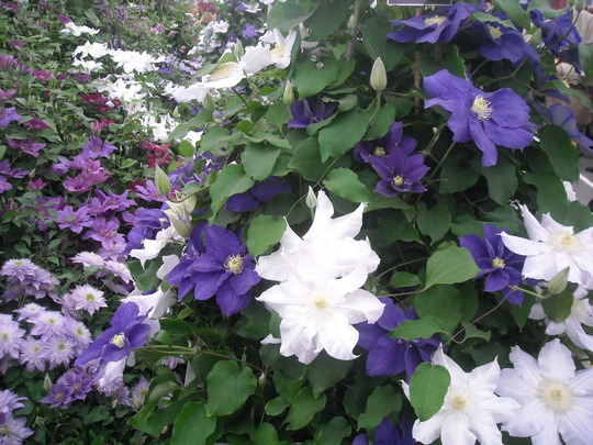 clematis at chelsea