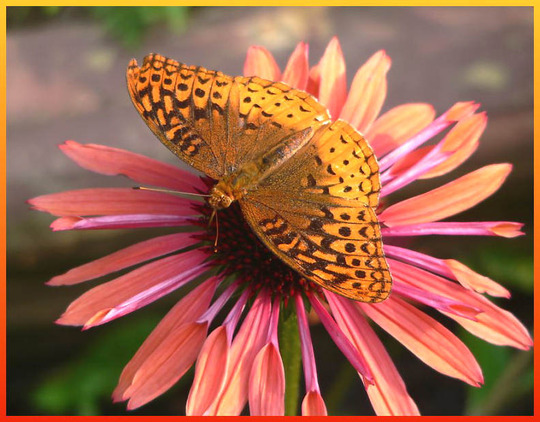 "Get the Sunglasses ! (Echinacea purpurea ""Sunset"")"