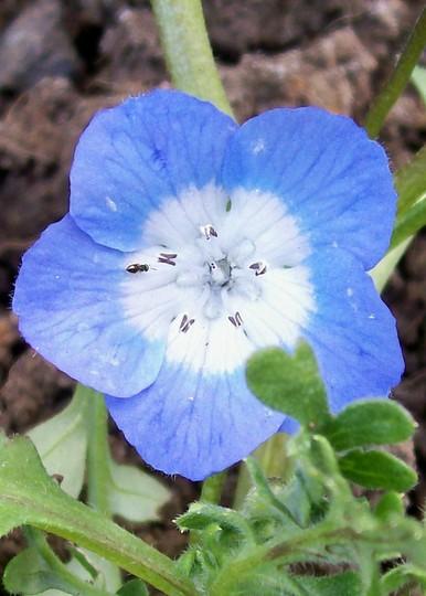 Nemophila 'Baby Blue Eyes' (Nemophila menziesii)
