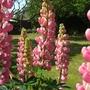 Lupins_in_our_garden