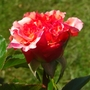 Red rose (Mackalves Floribunda)