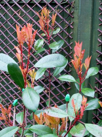 Red_Robin_in_the_Rain.jpg (Photinia x fraseri)