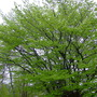 Beech trees (Fagus grandifolia (American Beech))