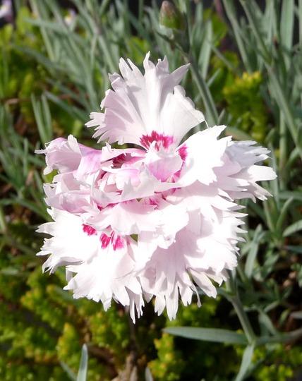 A garden flower photo (Dianthus plumarius)
