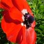 Anemone (Anemone de Caen)