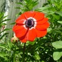 A garden flower photo (Anemone de Caen)