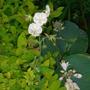 Geranium phaeum grown through spirea & hosta - June 2007 (Geranium phaeum)