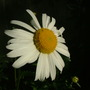 Marguerite_may_2009