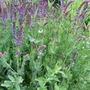 Salvia nemerosa
