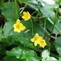 Lysimachia nemorum (Yellow Pimpernel) (Lysimachia nemorum)