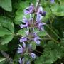 Salvia_pratense_rhapsody_in_blue_