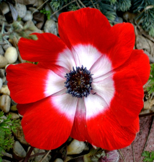Anemone 16th March (Anemone de Caen)