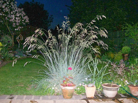 Blue Oat Grass - at dusk (Helictotrichon sempervirens (Blue oatgrass))