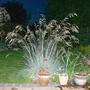 Blue Oat Grass - at dusk (Helictotrichon sempervirens (Blue oatgrass))